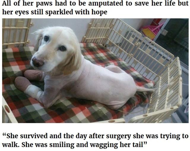 韓国の食肉処理工場から救出された犬 足先すべて壊死