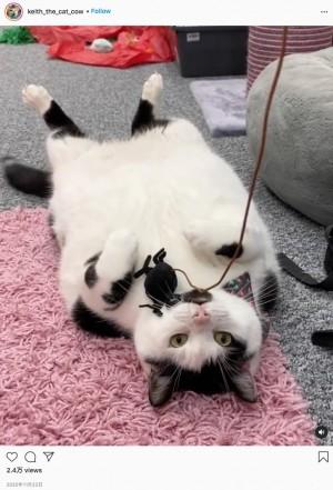 同居猫の餌まで盗み食いする体重10キロ超の猫(画像は『Keith the Cat-Cow 2020年11月22日付Instagram「Well am I the best?」』のスクリーンショット)