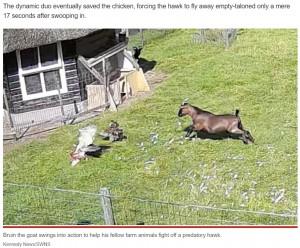 仲間が鷹に襲われていると気がついた雄鶏とヤギ(画像は『New York Post 2021年9月14日付「Hero farm animals rescue chicken buddy from hawk in dramatic video」(Kennedy News/SWNS)』のスクリーンショット)