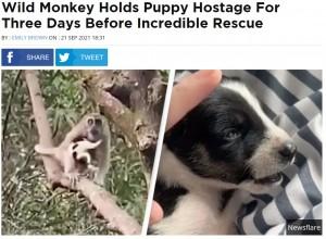 猿に連れ去られた子犬は3日後に救出された(画像は『UNILAD 2021年9月21日付「Wild Monkey Holds Puppy Hostage For Three Days Before Incredible Rescue」(Newsflare)』のスクリーンショット)
