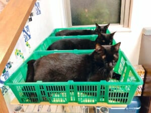 カゴの中で揃ってくつろぐ猫さんズ これから出荷ですか?