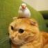 猫のしゃけちゃんの上でくつろぐ、文鳥のシムシムちゃん 写真提供:まぐさん(@tamam_mag)